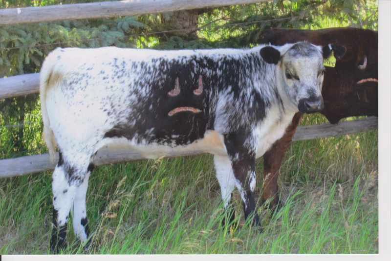 Speckle Park Cattle Strathdene And Double J Bulls